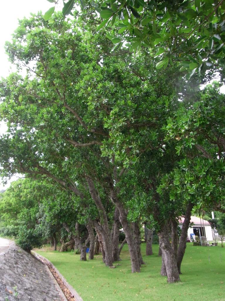 「照葉木(テリハボク)」の画像検索結果
